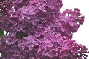 lilacs-1287880_1920
